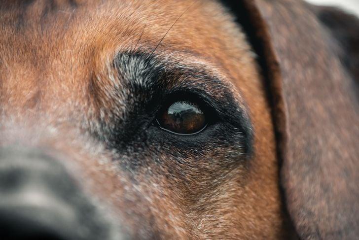 Close-up of a Rhodesian Ridgeback dog's eye.
