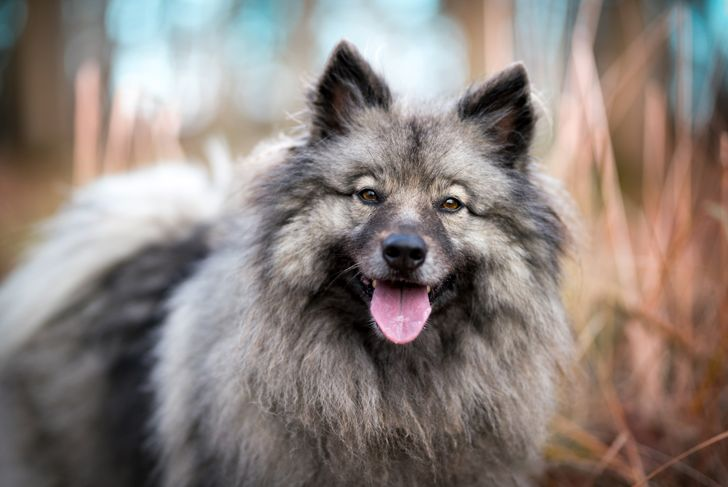 Portrait of the dog Keeshond or Wolfspitz in outdoor