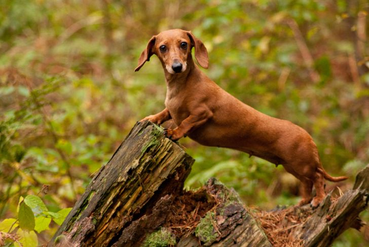 One of the world's best loved dog breeds, the Miniature Dachshund