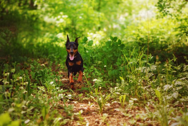 The miniature pinscher is running fast along a forest path to come back to its owner. Dog is lost in a wild forest. Sunny day