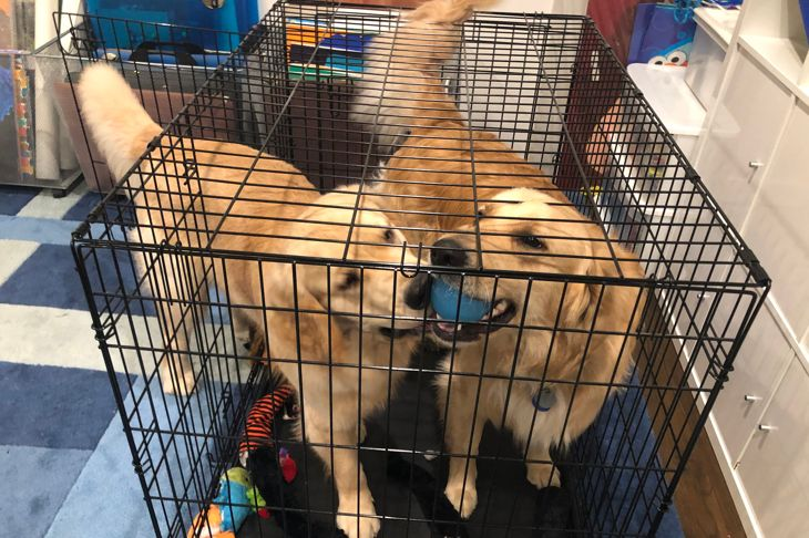 Playful Golden Retrievers brothers playing with a ball in a crate.