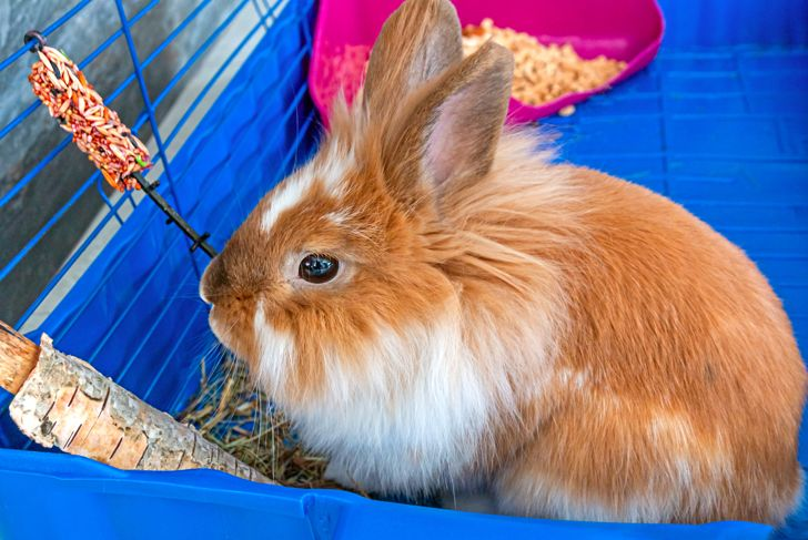 Brown and white lionhead rabbit