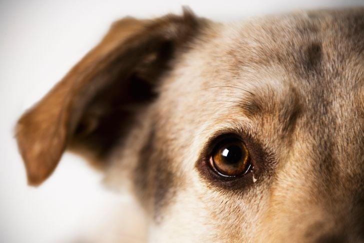Dog portrait of a Shepherd Lab Mix