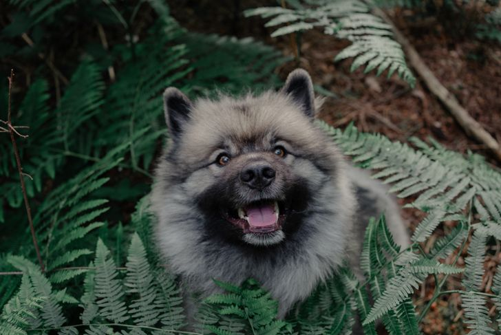 A young Keeshond framed by fern in a German forest.