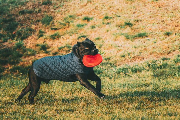 Active Black Cane Corso Dog Play Running With Plate Toy Outdoor In Park. Dog Wears In Warm Clothes. Big Dog Breeds.