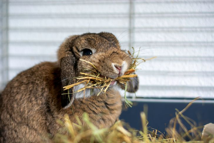 Funny cute lop rabbit bunny with hanging ears holding a lot of hay in its mouth in a cage