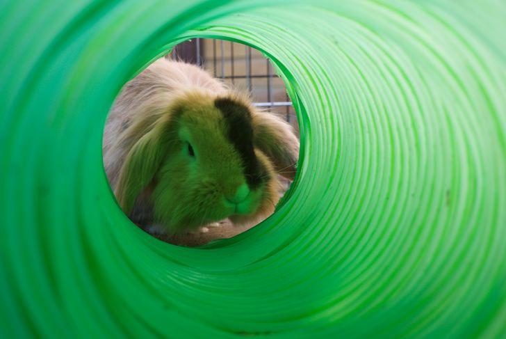 Lionhead rabbit looking through green tunnel