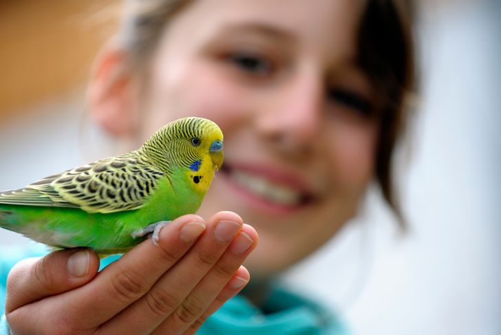 Yellow-green budgie sitting on a girls hand against blurred background.
