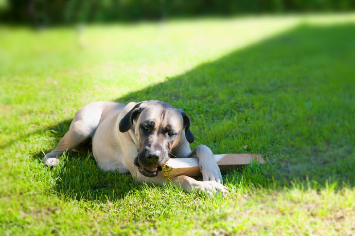 boerboel dog lying on the grass and chewing on a stick