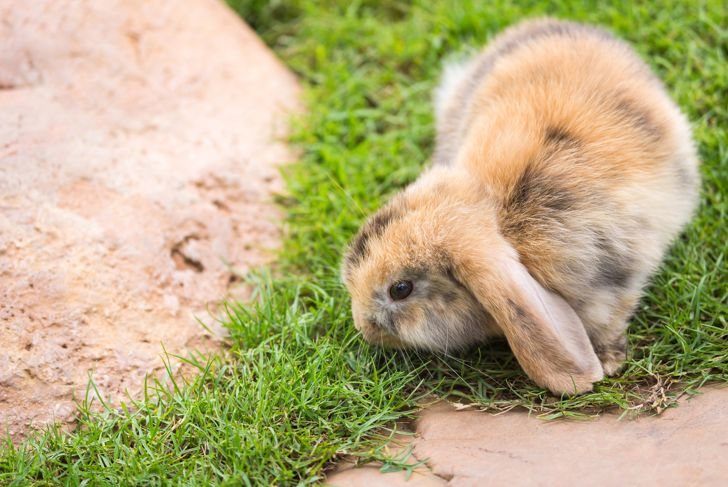 Cute Holland Lop or French Lop rabbit in garden