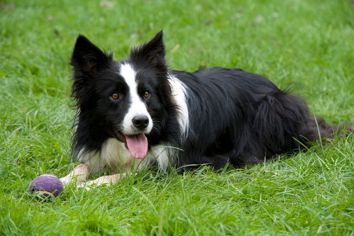 Border Collie Dog, UK, in garden, black & white, laying, panting, with ball, playing