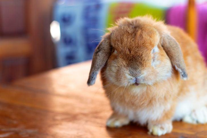 Holland lop rabbit sitting on wood floor