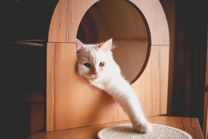 White ragamuffin cat