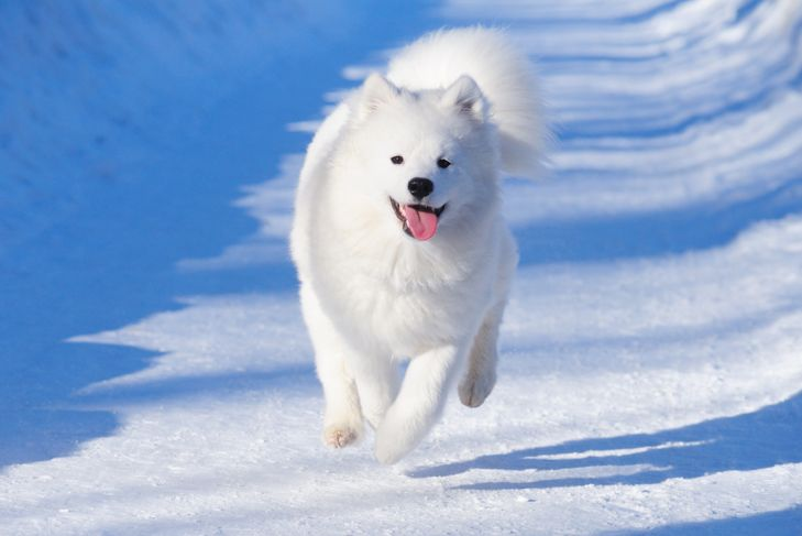 Puppy of Samoyed dog gallops