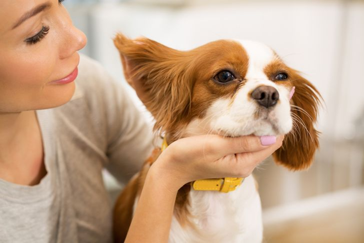 Cropped close up of a young woman checking ears of her spaniel