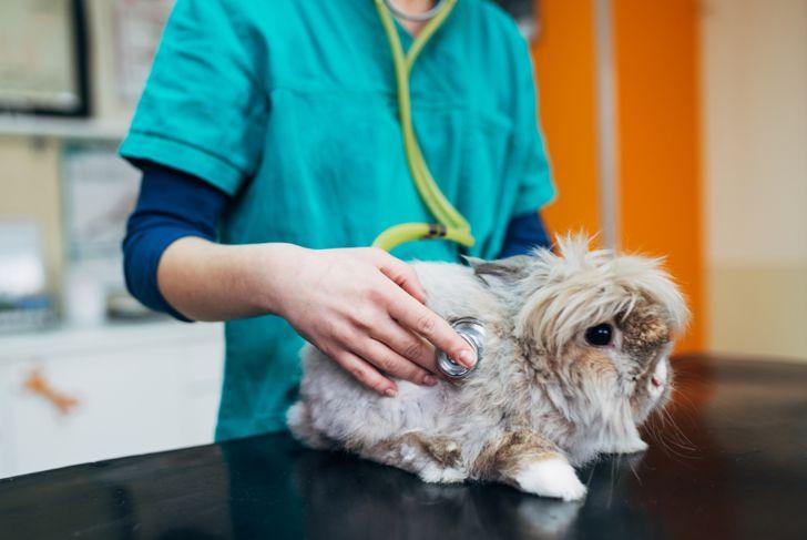 Lionhead rabbit at the vet