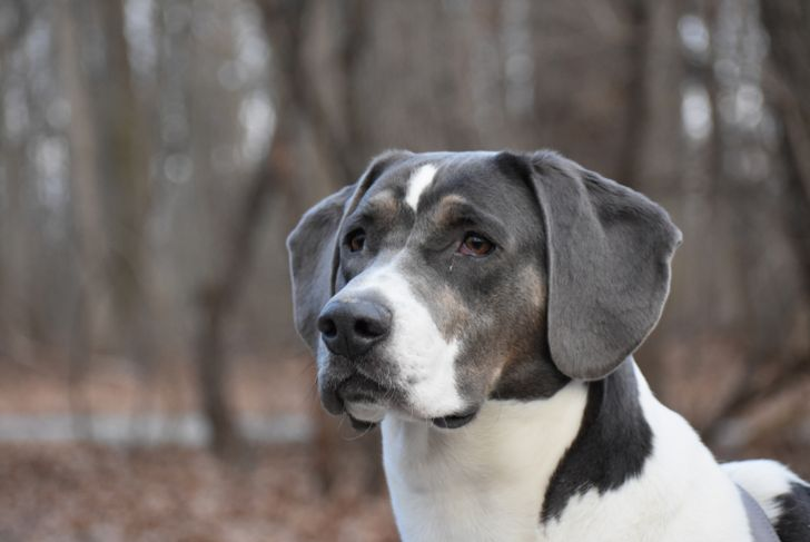 White and Gray Handsome Foxhound