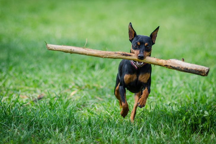 miniature pinscher dog with a stick on a field