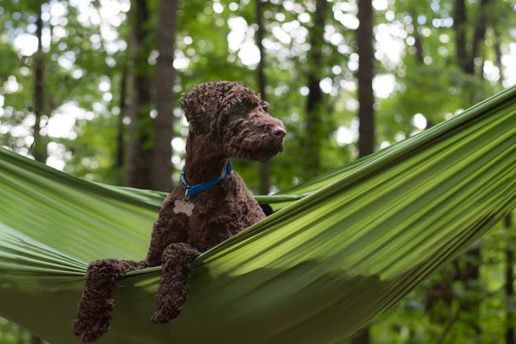 Brown curly haired Australian Labradoodle dog sitting in green hammock in the forest while camping