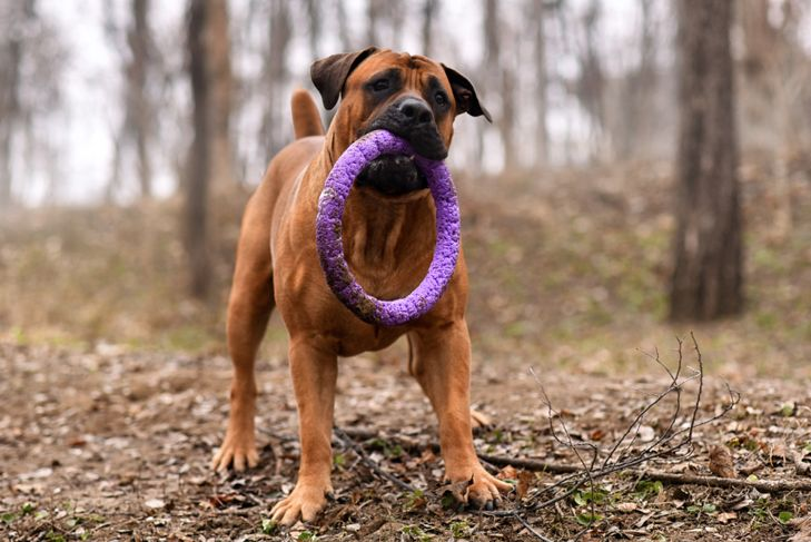Boerboel dog playing with a toy outside
