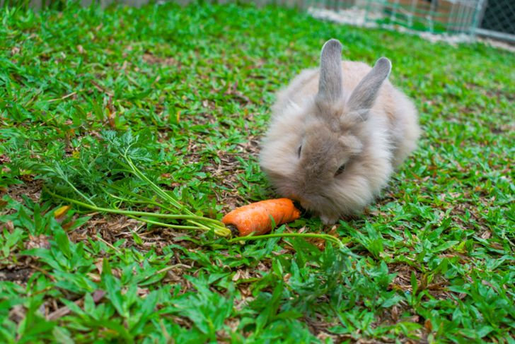 Lionhead rabbit eating a carrot in the garden
