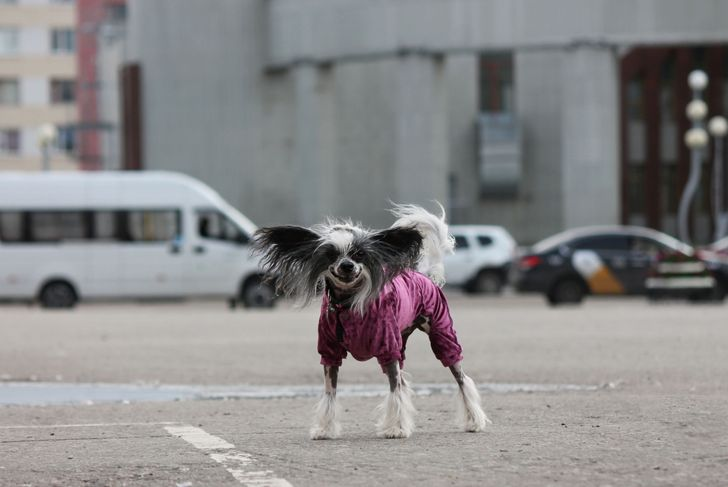 Chihuahua chinese crested dog standing outside in a pink jacket