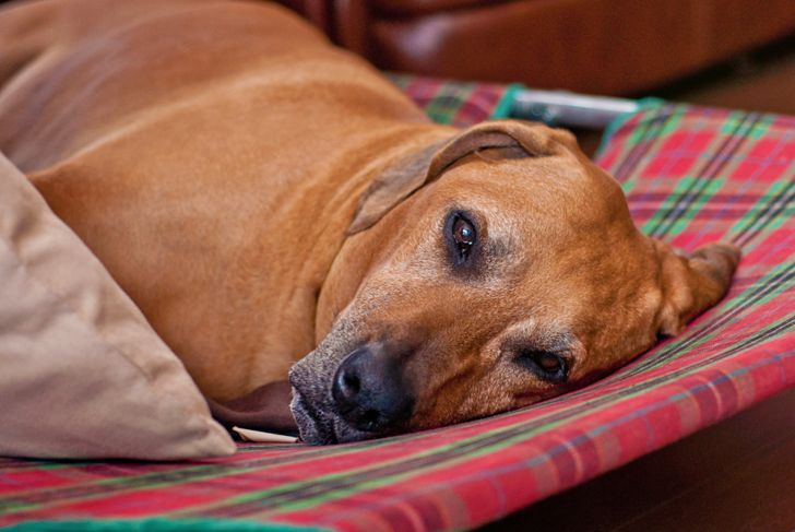 Redbone Coonhound lies on a checkered sofa