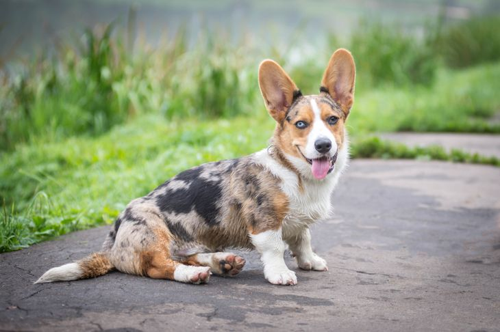 Cardigan Welsh Corgi puppy sitting on the road in summer