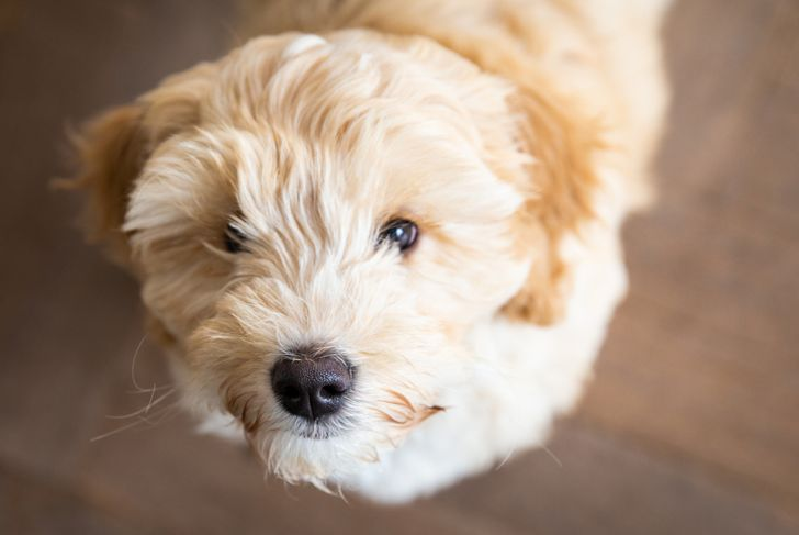 Cream Australian Labradoodle pup standing inside looking up seen from above