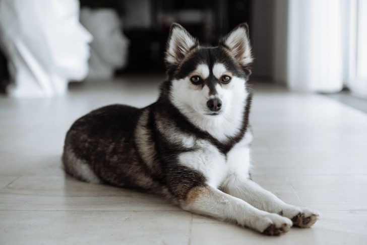 Pomsky dog lying on the floor