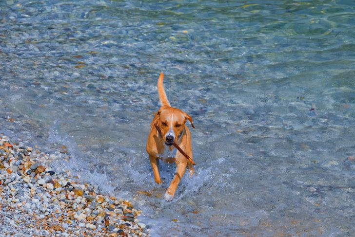Redbone Coonhound dog running out of clear water with a stick in its mouth