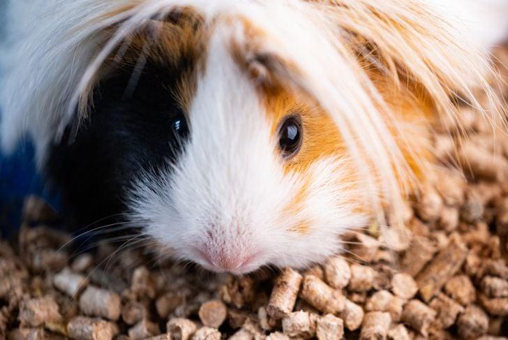 domestic peruvian guinea pig