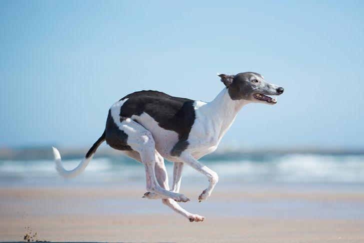 Whippet running on the beach