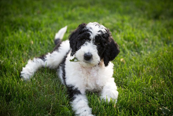 Sheepadoodle puppy lying in the yard