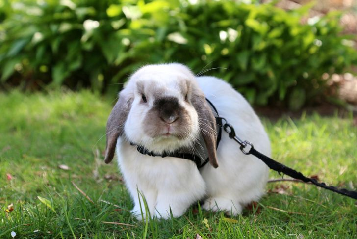 Holland lop rabbit wearing halter exploring in the grass.