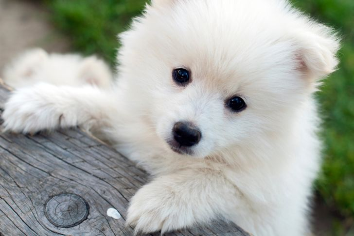 White pomsky puppy looking over fence