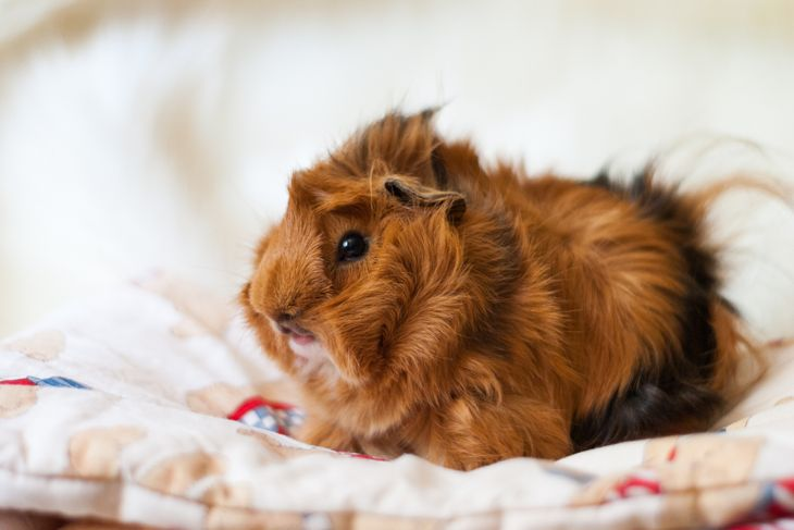 Peruvian guinea pig breed on a light background.