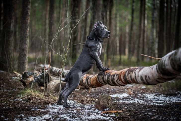 Cane corso dog in the woods