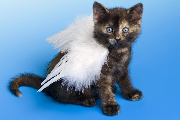 kitten with angel wings