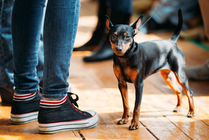 Miniature pinscher standing by child's legs