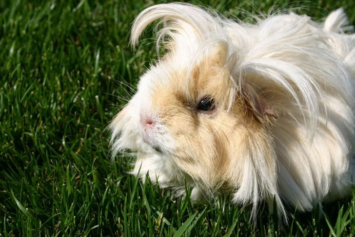 White and brown Peruvian guinea pig