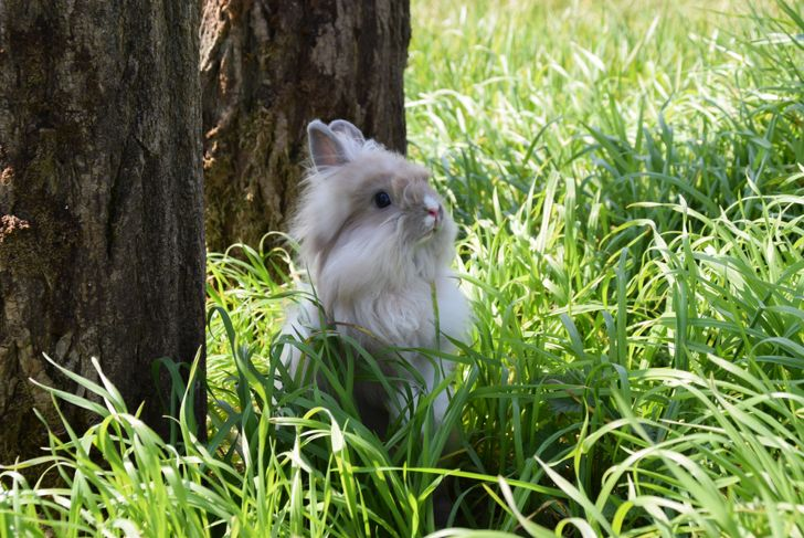lionhead rabbit playing in green grass
