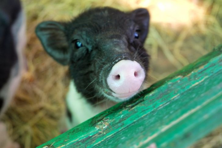 micro pig looking over green fence