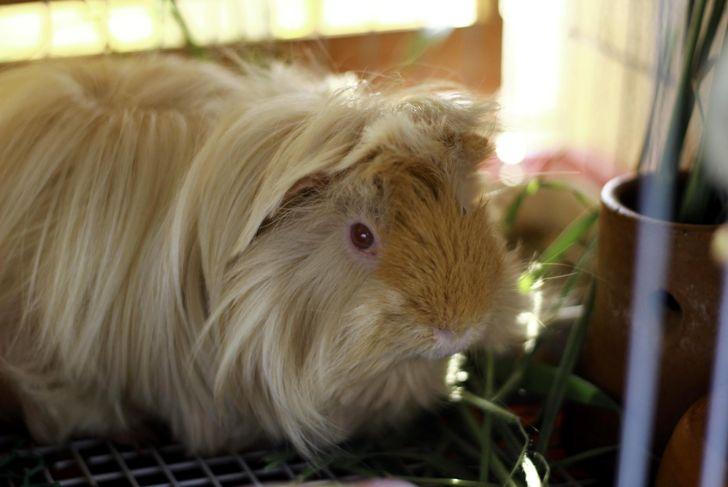 Peruvian Guinea pig eating