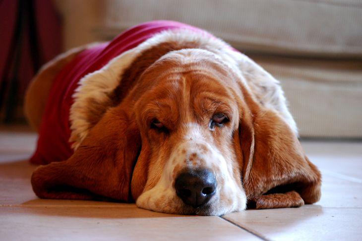 Basset hound lazily lying on floor