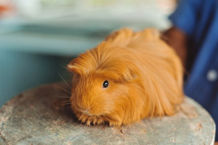 Peruvian Guinea pig with long hair on Wood