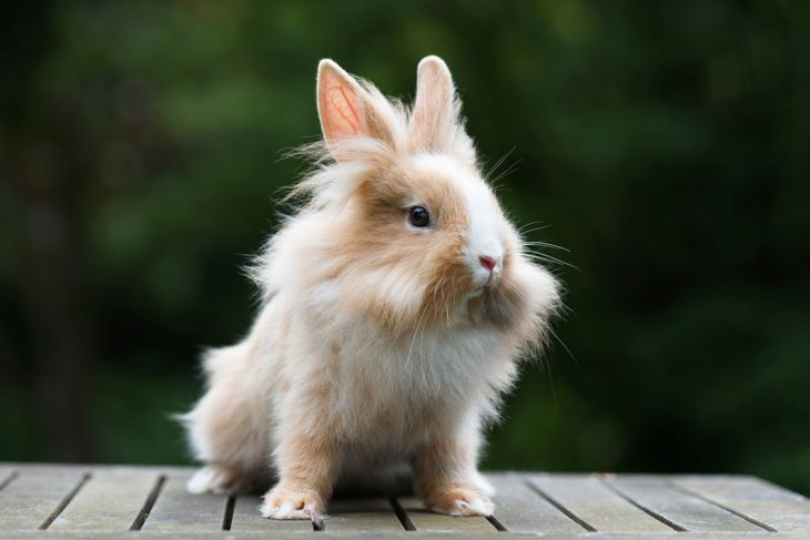 Brown and white lionhead rabbit sitting outside