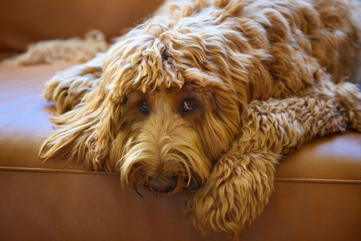 Brown labradoodle lying on couch