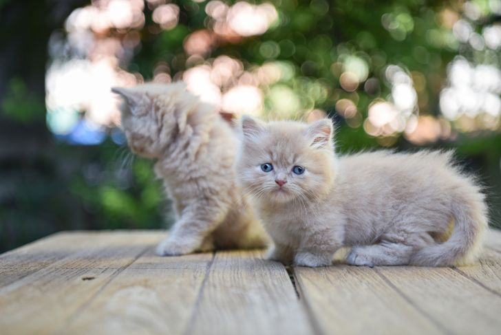 two munchkin kittens on a picnic table