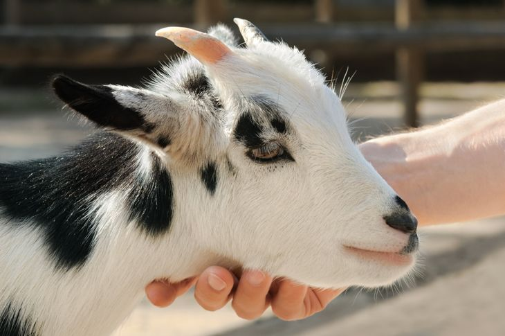 goat being stroked at the petting zoo